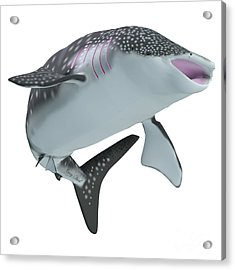 Whale Shark Body Acrylic Print