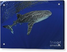 Whale Shark Near Surface With Sun Rays Acrylic Print by Mathieu Meur