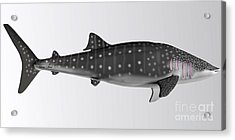 Whale Shark Side Profile Acrylic Print
