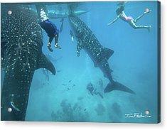 Whale Sharks Acrylic Print