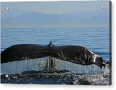 Whale Tail 4 Acrylic Print