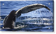 Whale Tail Acrylic Print by Dapixara Art