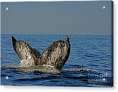 Whale Tail Acrylic Print