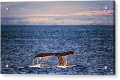 Acrylic Print featuring the photograph Whale Tail by Susan Rissi Tregoning
