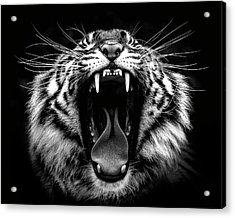 What Big Teeth You Have Acrylic Print by Wes and Dotty Weber