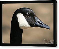 Canadian Goose Acrylic Print