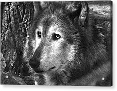 What Is A Wolf Thinking Acrylic Print by Karol Livote