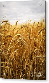 Wheat Acrylic Print by Elena Elisseeva