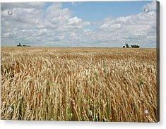 Wheat Farms Acrylic Print