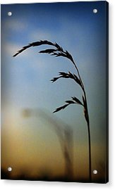Wheat In Silhouette Acrylic Print by Dave Chafin