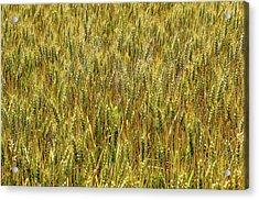 Wheat In The Sun 2 Acrylic Print by Elena Riim