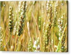 Wheat In The Sun Acrylic Print by Elena Riim