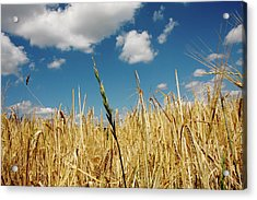 Acrylic Print featuring the photograph Wheat On The Rhine by KG Thienemann