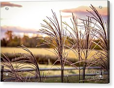 Wheat Sunset Acrylic Print by Keith Rousseau