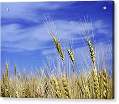 Wheat Trio Acrylic Print by Keith Armstrong