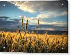 Wheat's Up Acrylic Print