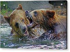 When Grizzlies Play Acrylic Print