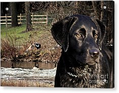 Where's The Geese Labrador 4 Acrylic Print by Cathy  Beharriell