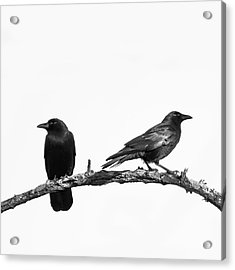Which Way Two Black Crows On White Square Acrylic Print