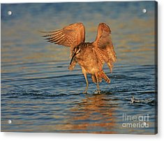 Whimbrel Colors Acrylic Print