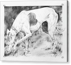 Whippet Searching Acrylic Print