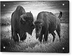 Whispering Bison Acrylic Print