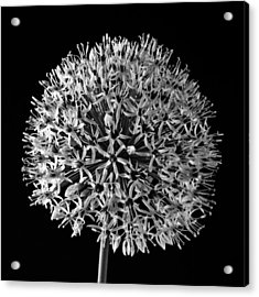 White Allium Acrylic Print by Sandra Foster