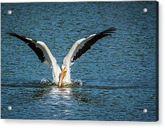 White American Pelican Acrylic Print by Pamela Williams