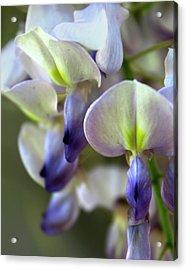 Wisteria White And Purple Acrylic Print