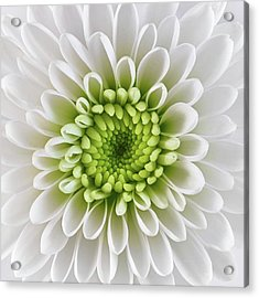 White And Green  Chrysanthemum Acrylic Print by Jim Hughes