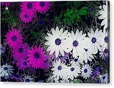 White And Purple Daisy Flower Acrylic Print
