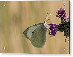 White And Purple Acrylic Print