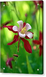 White And Red Columbine  Acrylic Print by James Steele