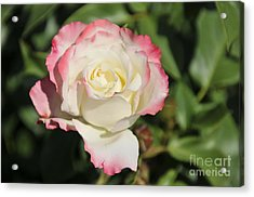 White And Red Rose 3 Acrylic Print by Rudolf Strutz