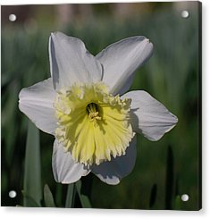 White And Yellow Daffodil Acrylic Print