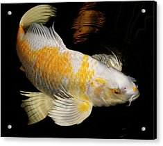 White And Yellow Yamabuki Hariwake Butterfly Koi Fish Swimming A Acrylic Print