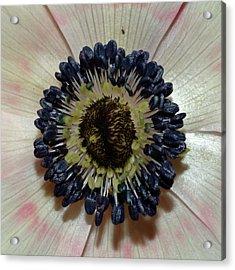 White Anemone Acrylic Print