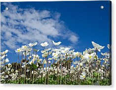 White Anemones At Blue Sky Acrylic Print