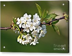 Acrylic Print featuring the photograph White Apple Blossoms by Silva Wischeropp