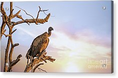 White-backed Vulture At Sunset In Kruger National Park Acrylic Print