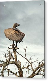 White-backed Vulture Perched On Tree Branch Acrylic Print