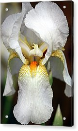 Acrylic Print featuring the photograph White Bearded Iris 2 by Sheila Brown