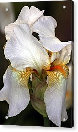 Acrylic Print featuring the photograph White Bearded Iris by Sheila Brown