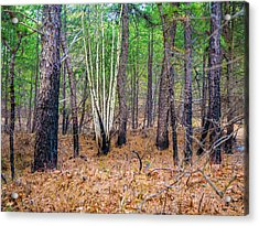 White Birches In The Forest Acrylic Print