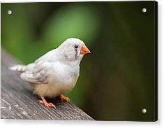 White Bird Standing On Deck Acrylic Print