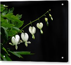 Acrylic Print featuring the photograph White Bleeding Hearts by Susan Capuano