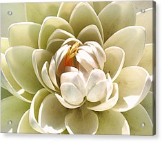White Blooming Lotus Acrylic Print