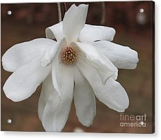 Acrylic Print featuring the photograph White Blossom by Rod Ismay