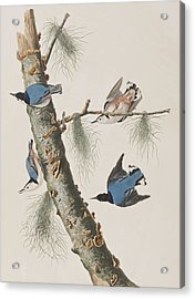 White-breasted Black-capped Nuthatch  Acrylic Print by John James Audubon