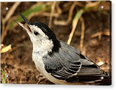White Breasted Nuthatch 2 Acrylic Print by Sheila Brown